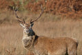 Stag photographed on Jura in Scotland Stock Image