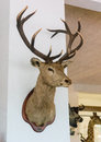 Stag s head on a wall Royalty Free Stock Images