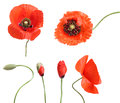 Stages of growing poppies isolated on white Stock Images