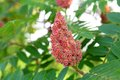 Staghorn sumac tree pink seed cluster close up on the fuzzy red clusters on a growing in the wild in the woods Stock Photography