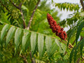 Staghorn sumac vivid red fruit of the also known as velvet is a natural landscape highlight Stock Photo