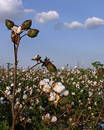 Stalk of Cotton in Field Royalty Free Stock Photo