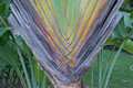 Stalk palm Royalty Free Stock Photo