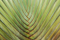 Stalk palm Royalty Free Stock Photo