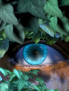 The stalker hidden observation blue eye behind leaves Stock Images