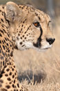 Stalking Cheetah Stock Image