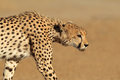 Stalking cheetah acinonyx jubatus kalahari desert south africa Stock Photos