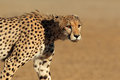 Stalking cheetah acinonyx jubatus kalahari desert south africa Royalty Free Stock Images