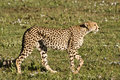 Stalking Cheetah in Serengeti Royalty Free Stock Photo
