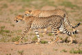 Stalking Cheetahs Royalty Free Stock Photo