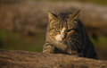 Stalking house cat a over a log Royalty Free Stock Image