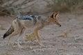 Stalking jackal birds in kgalagadi transfrontier park south africa Royalty Free Stock Image