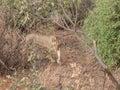 Stalking lion on patrol in bush during african safari Stock Photo