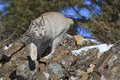 Stalking on prey a canadian lynx onto Royalty Free Stock Images