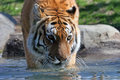 Stalking Siberian Tiger Stock Photo
