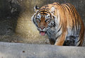 Stalking tiger female strides forward as if its prey Royalty Free Stock Image