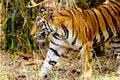 Stalking tiger a it s prey bandhavgarh national park madhya pradesh india Stock Photography