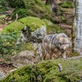 Stalking wolf in the forest its prey Stock Photo