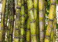Stalks of fresh sugar cane for extracting the juice Stock Image