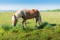 Stallion with blonde manes and tail male horse walking on grass rushes in the spring season Stock Images