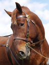 Stallion head shot a of a suffolk punch against a blue sky Royalty Free Stock Images