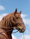 Stallion head shot a of a suffolk punch against a blue sky Royalty Free Stock Image
