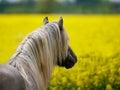 Stallion Headshot Royalty Free Stock Photo