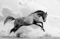 Stallion jumps plays black and white photo Stock Images