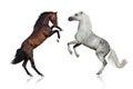 Stallions rearing up Royalty Free Stock Photo