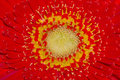 Stamen of daisy close up red Royalty Free Stock Images