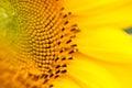 Stamen Or Pistil In Sunflower