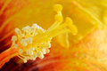 Stamen yellow of a flower Royalty Free Stock Photos