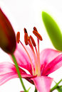 Stamens pink lilies white background summer Royalty Free Stock Photo