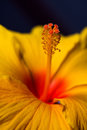 Stamens and Pistils of an Orange Hibiscus Royalty Free Stock Photo