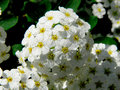 Stamens white flowers sunny day on colors the great number of is visible Royalty Free Stock Photo
