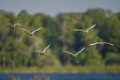 Stampede of cattle egrets in flight Royalty Free Stock Photo
