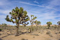 Stand of Joshua Trees Royalty Free Stock Photo