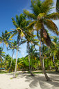 Stand of swaying palm trees tall green in the breeze on the caribbean island mayreau Stock Photography