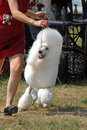 Standard poodle in ack dog show white standaard and handler competiting akc outdoor Royalty Free Stock Photo