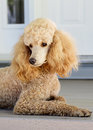 Standard poodle apricot a young coloured keeps a watchful eye while relaxing on the front porch Royalty Free Stock Photo