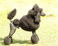 Standard poodle a close up of a small beautiful and adorable black dog poodles are exceptionally intelligent usually equated to Royalty Free Stock Photo