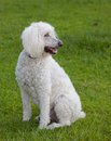 Standard poodle full sized white that is on a green lawn Stock Photo