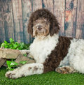 Standard poodle laying in the grass with a wood fence behind him Royalty Free Stock Photo