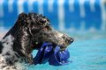 Standard poodle parti retrieving object in water competition exercise Royalty Free Stock Image