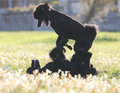 Standard Poodles playing Royalty Free Stock Photo