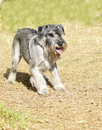 Standard schnauzer a young salt and pepper gray dog standing on the grass looking very happy it is known for being an intelligent Stock Photo