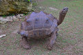 A standing aldabra giant tortoise with her four strong legs at francois leguat and cave reserve at rodrigues island Royalty Free Stock Photo