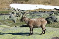 Standing alpine ibex wild animal living in high altitude Royalty Free Stock Image