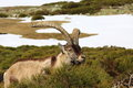 Standing alpine ibex wild animal living in high altitude Royalty Free Stock Photo