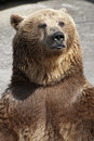 Standing brown bear ursus arctos arctos Royalty Free Stock Image